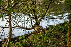 IMG_2179 (Stuart 87) Tags: duck ducks wildlife