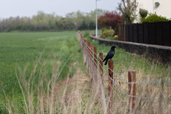 Crow and Fence (Pittypomm) Tags: crow fence fencedfriday grass field barbed wire wall wooden