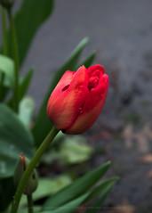 Tulip buds bursting (Twilight Star Photography) Tags: buds flowers nature redflower redflowers spring springblooms springflowers springinoregon springtime springtimeflowers tulip tulips roseburg oregon usa