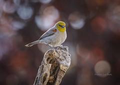 Verdin (slsjourneys) Tags: verdin desertbirds