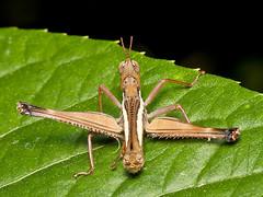 Pseudomastax personata (Eerika Schulz) Tags: pseudomastax personata grashüpfer grasshopper ecuador puyo eerika schulz