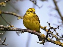 Yellowhammer (doranstacey) Tags: nature wildlife birds yellowhammer shillito woods woodland peak district tamron 150600mm nikon d5300