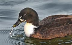 Mallard Hybrid Needs Drool Cup (Vidterry) Tags: duck mallard mallardhybrid