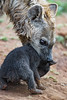 Hyena pup in mother's mouth (Tambako the Jaguar) Tags: spottedhyena hyena mother female portrait face close baby pup cub young cute lifting holding soil lionsafaripark johannesburg southafrica nikon d5