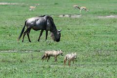 Silver Back Jackal (Robert Styppa) Tags: tanzania nikon nikond850 robertstyppa africa wildlife serengeti ngorongoro silverbackjackal