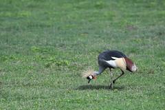 Crane (Robert Styppa) Tags: tanzania nikon nikond850 robertstyppa africa wildlife serengeti ngorongoro crane