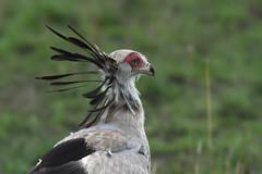 Secretary Bird (Robert Styppa) Tags: tanzania nikon nikond850 robertstyppa africa wildlife serengeti ngorongoro secretarybird