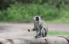 Green Vervet (Robert Styppa) Tags: tanzania nikon nikond850 robertstyppa africa wildlife serengeti ngorongoro greenvervet