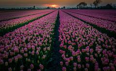 Pink Tulips (mcalma68) Tags: tulips pink netherlands dutchlandscape landscape flowers field sunset beemster
