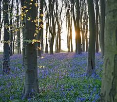 Easter Sunshine in Bluebell Woods (Spiritu Libero) Tags: bluebells nikond850 nikon247028g oxfordshire beechtrees sunrise badburyclump