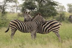 IMG_7266 (Rorals) Tags: animal wildlife mammal safari southafrica africa wildlifephotography kruger zebra