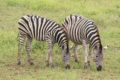 IMG_7161 (Rorals) Tags: animal wildlife mammal safari southafrica africa wildlifephotography kruger zebra