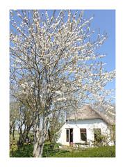 Stadsweg, Garmerwolde In Explore 2019, Apr. 19 #201 (Michiel Thomas) Tags: white house garmerwolde groningen prunus dream rêve weiss wit blanc blanche