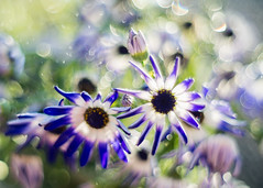 April Showers (Martzimages) Tags: bokeh flowers meyer raindrops rain shower bloom nature