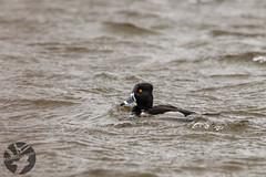 Ring-necked Duck (Landandwater.ca) Tags: ringneckedduck sackville sackvillewaterfoulpark newbrunswick birds bird avian duck ducks waterfoul