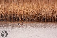 Gadwall (Landandwater.ca) Tags: sackville sackvillewaterfoulpark newbrunswick birds bird avian duck ducks waterfoul