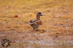 American Wigeon (Landandwater.ca) Tags: americanwigeon sackville sackvillewaterfoulpark newbrunswick birds bird avian duck ducks waterfoul
