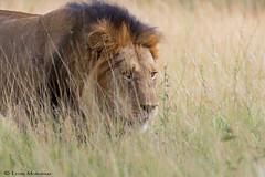Panthera leo (leendert3) Tags: leonmolenaar wildlife southafrica krugernationalpark nature africanlion mammal ngc npc coth5