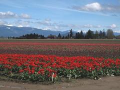Tulips 2019 (moonm) Tags: tulips washington skagit nature flowers