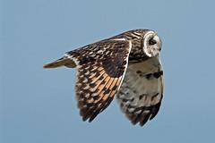 short eared owl (DODO 1959) Tags: wildlife shortearedowl birds avian raptor birdofprey flight nature outdoor animal owl pembrokeshire wales skomerisland olympus omdem1mk2 300mmf4 micro43 x14converter