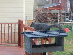 DSCN1676 (mestes76) Tags: 050718 duluth minnesota backyard birdfeeders squirrels