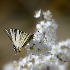 I had a dream (Paul Wrights Reserved) Tags: butterfly butterflies swallowtail swallowt spring blossom flower flowers flowering blossoming dream nature naturephotography