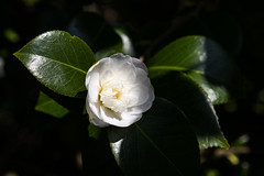 Camellia (CarolAnn Photos) Tags: 2019 april camellia flora flower