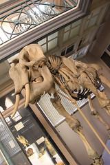 Squelette Éléphant Asiatique (Sp6mEn Pics) Tags: taxidermie animaux empaillés disparus vivants lille france hautsdefrance nord lynx araignée loup dinosaure oiseau squelettes mammifère marin momie insects