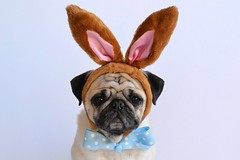 Happy Easter ~ Joyeuses Pâques (DaPuglet) Tags: pug pugs dog dogs easter holiday happyeaster joyeusespâques pâques spring costume bunny rabbit ears bowtie cute animal animals pet pets tie carlin chien coth5 fantasticnature