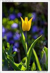 DSC00851_s (mikre_me) Tags: aprilfoolishness dyxumaprilfoolishness backyardsession backyard spring flowers flower tulip afday19 vivitar10028macro kiron10028macro