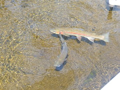 Rainbow Trout (patricialindsay896) Tags: expedition 6 apr 2019