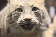 Lynx (Sp6mEn Pics) Tags: taxidermie animaux empaillés disparus vivants lille france hautsdefrance nord lynx araignée loup dinosaure oiseau squelettes mammifère marin momie insects