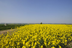 wide angle Dorset (auroradawn61) Tags: goodfriday easter dorset uk england spring 2019 sunny countryside rapeseedoil yellow flowers fields wideangle