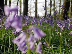 bluebell woods (auroradawn61) Tags: goodfriday easter dorset uk england spring 2019 sunny countryside bluebellwoods flowers trees woods bluebells