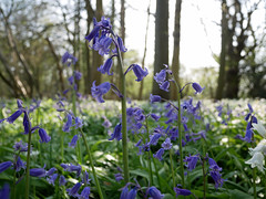 bluebell woods (auroradawn61) Tags: goodfriday easter dorset uk england spring 2019 sunny countryside flowers trees bluebells bluebellwoods