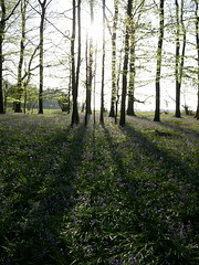 bluebell woods (auroradawn61) Tags: goodfriday easter dorset uk england spring 2019 sunny countryside trees woods flowers bluebells bluebellwoods