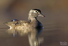 IMG_8706nx (4President) Tags: wood duck aix sponsa minnesota