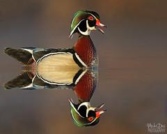 IMG_8463nxlbshcw (4President) Tags: wood duck aix sponsa minnesota