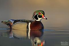 IMG_8388nx (4President) Tags: wood duck aix sponsa minnesota