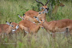 BK0_7072 (b kwankin) Tags: africa impala ruahanationalpark tanzania
