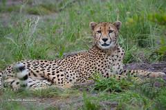 BK0_6536 (b kwankin) Tags: africa cheetah ruahanationalpark tanzania