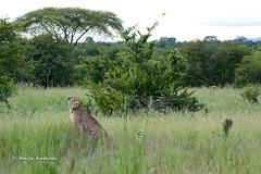 BK0_6476 (b kwankin) Tags: africa cheetah ruahanationalpark tanzania