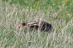 Brown Hare (Ian R T) Tags: brownhare hare mammal troup head aberdeenshire scotland