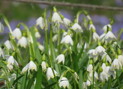 Kevätlumispisara eli kevätkello (Leucojum vernum)