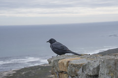 DSC_4079_1 (Marshen) Tags: redwingedstarling capepoint southafrica