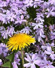 Intruder (esywlkr) Tags: phlox dandelion intruder iphone nc haywoodcounty northcarolina nature flowers