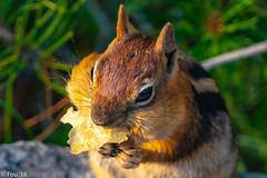 _FOU6313.jpg (Murray Foubister) Tags: 2018 summer oregon mammals travel usa