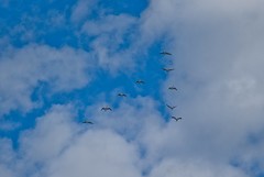 A Squadron of Flying Pelicans against Blue Sky and Clouds (alexkess) Tags: australia clifton coalcliff illawarra nsw newsouthwales seacliffbridge sydney wollongong pelicans pelican birds flying brief pod pouch scoop bird sky blue cloud air high animal flight cloudy daytime clouds nature atmosphere flock noperson cumulus outdoors wing group