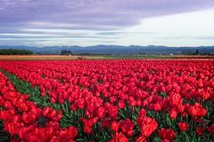 Wooden Shoe Tulip Farm 732 A (jim.choate59) Tags: jchoate on1pics tulips field clouds woodenshoetulipfarm farm rural springtime spring red rx100 woodburnoregon oregon landscape magichour