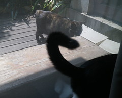 an encounter with a neighbor (sogni_hal) Tags: animal cat chat garden window